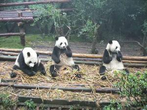 Panda Bear Sanctuary 4