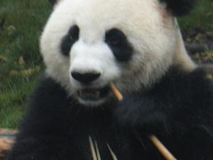 Panda Bear Sanctuary 5