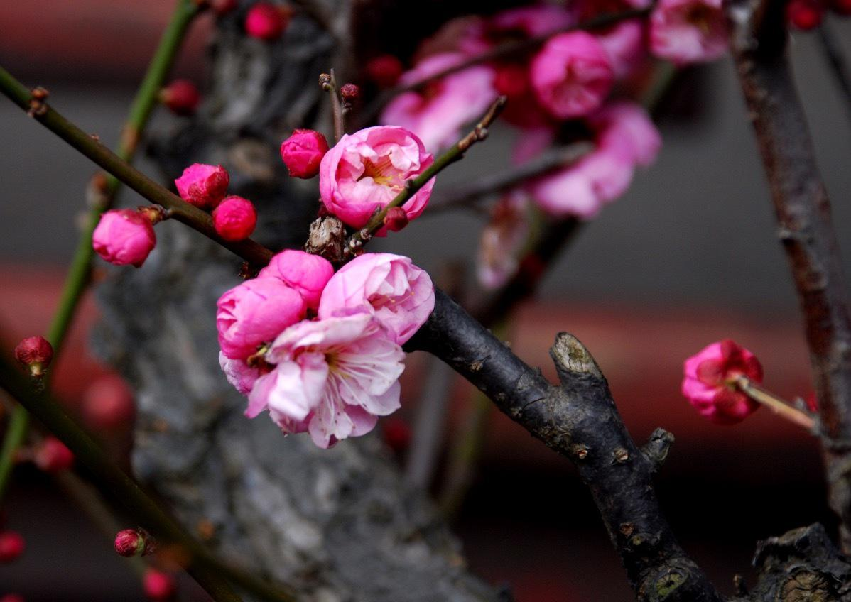 Shanghai Cherry Blossom