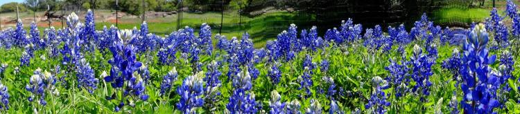 Texas Wildflowers Bluebonnets 4