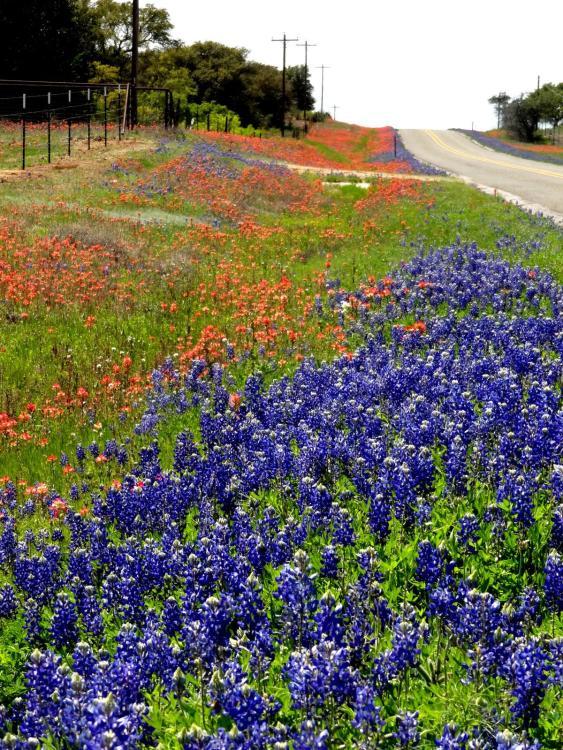 Texas Wild Flowers Blue Bonnets Indian Paint Brushes