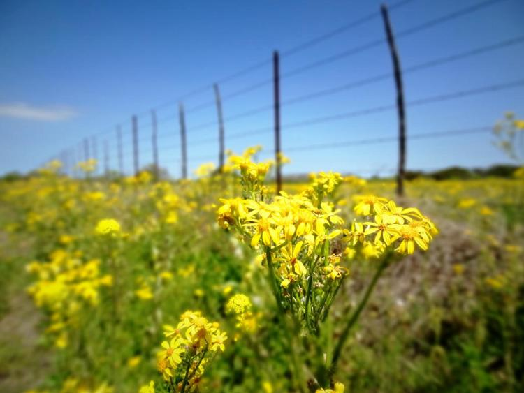 Texas Wildflowers Yellow