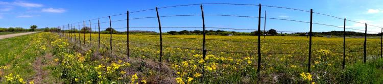Yellow Texas Wildflowers - Texas Hill Country
