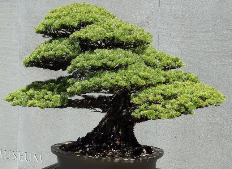 Arboretum in Washington DC - Bonsai Exhibit