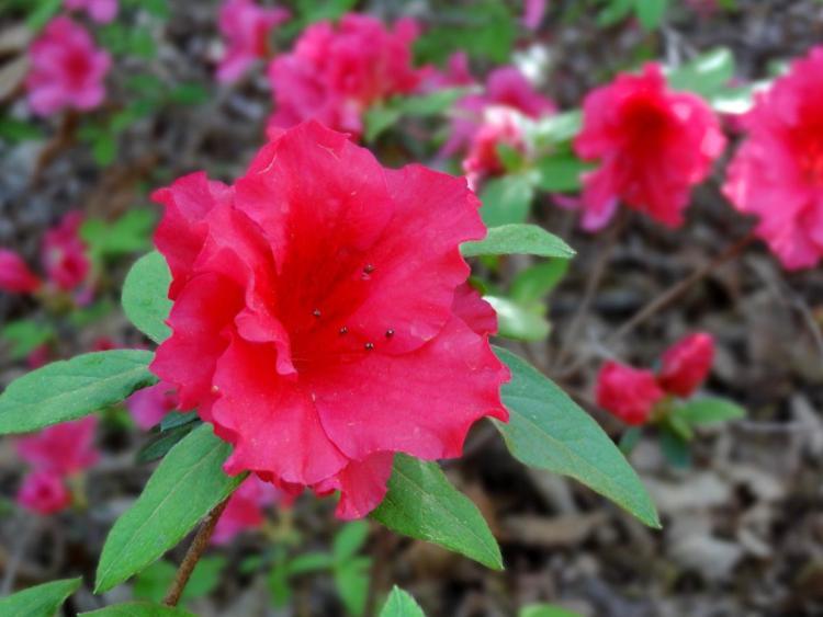 Azalea Bloom at Arboretum in Washington DC