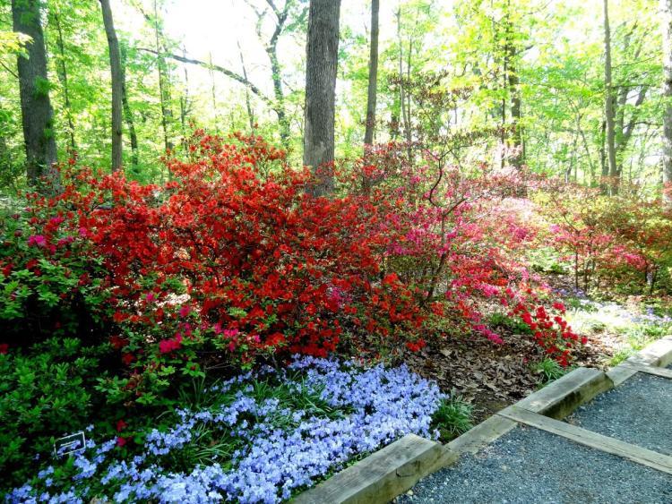 Azalea Bloom at the Arboretum in Washington DC