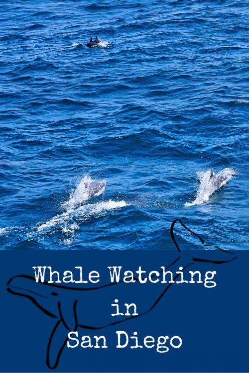 Whale Watching in San Diego: What is the best time to go Whale Watching in San Diego? What you should bring on your Whale Watching adventure and many more tips to make your whale watching trip an adventure you never forget!