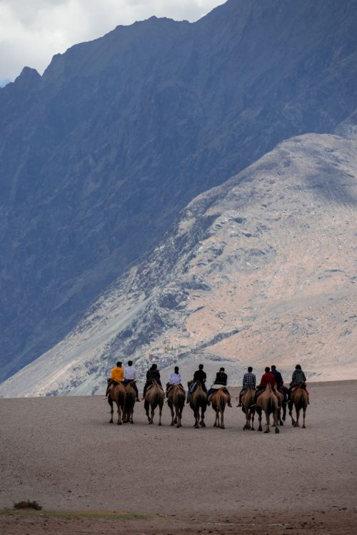 Double Humped Camels riding towards mountains of Ladakh