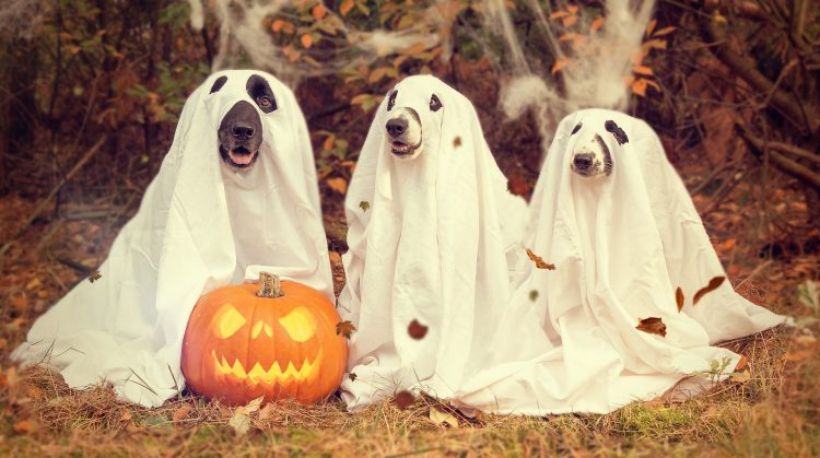 3 cutie pie dogs with a sheet over them for a ghost costume. They have a little jack-o-lantern in from of them