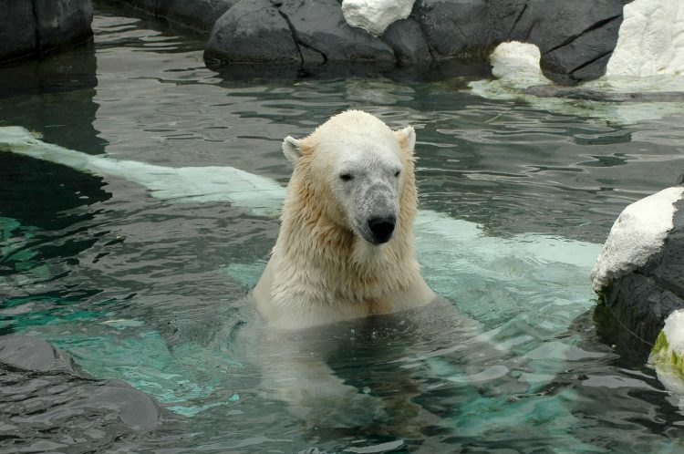 Polar bear chilling in the icy water at the San Diego Zoo