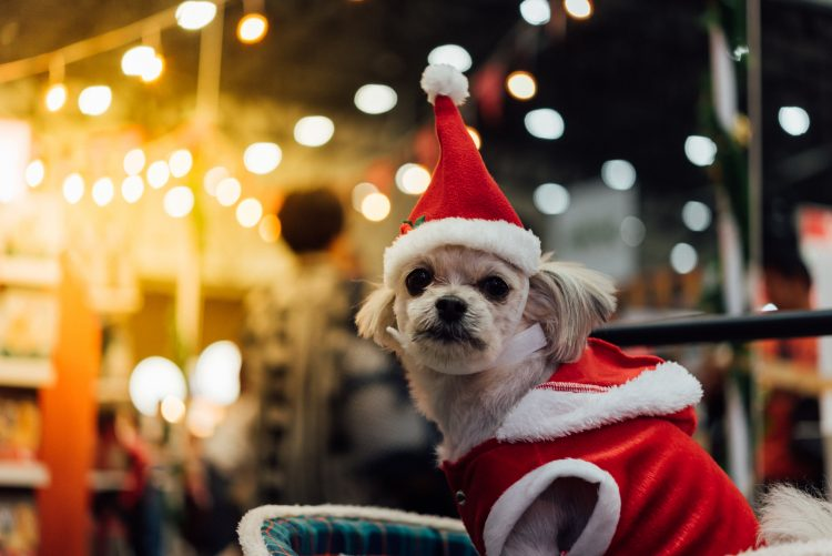Small white dog wearing a santa clause costume for San Diego Holiday Pet Parade
